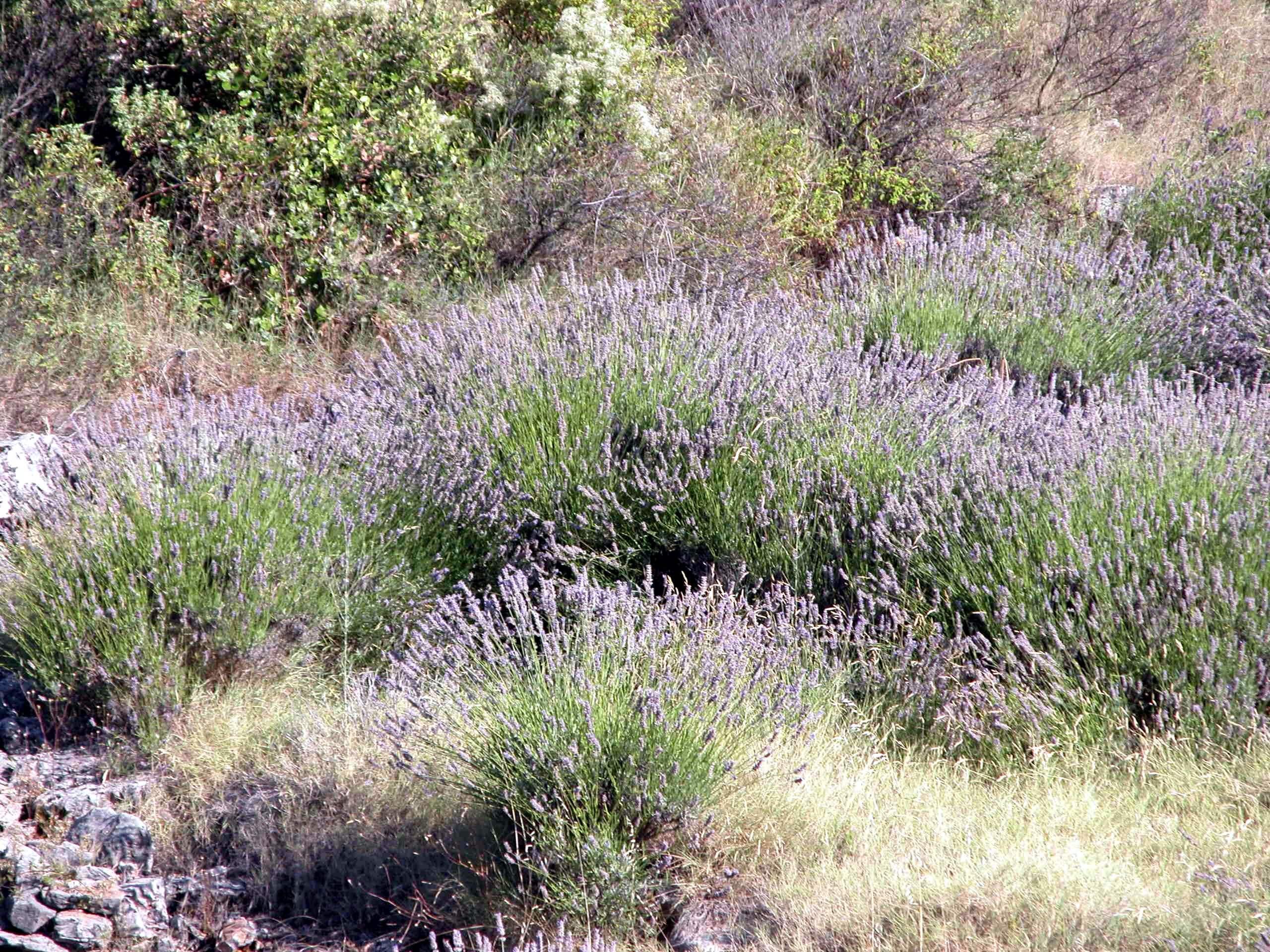 Wilder Lavendel in Kroatien