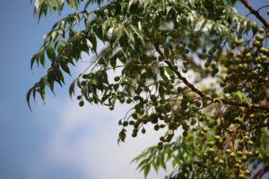 Neemöl gegen Zecken und Mücken