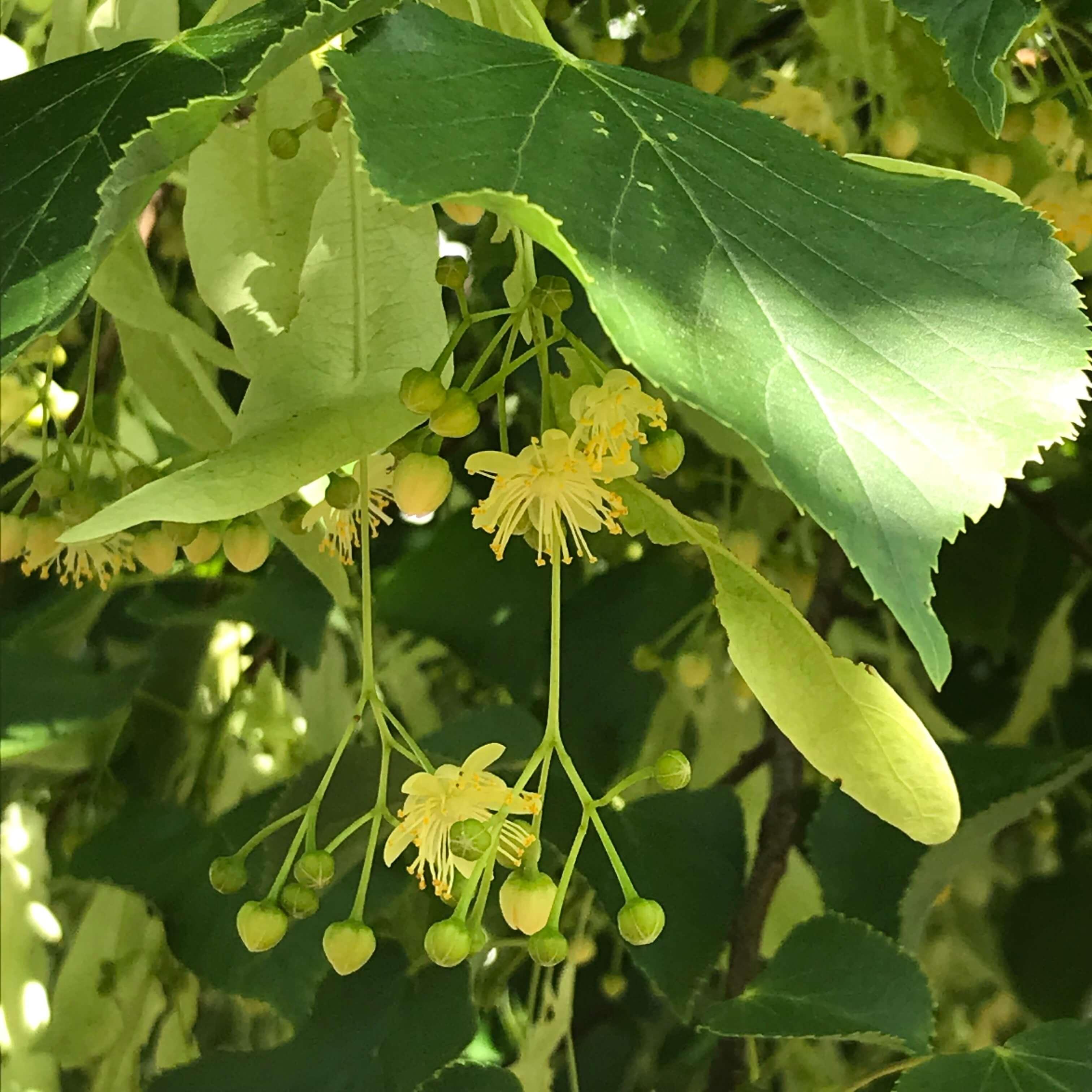 Lindenblütenöl selbermachen Lindenbaum