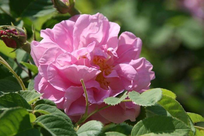 Aromareise Rosengärten Rosa damascena