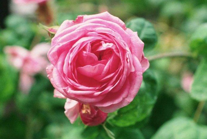 Aromareise Rosengärten Rosa centifolia