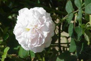 Aromareise Rosengärten Duftrosen Rosa alba