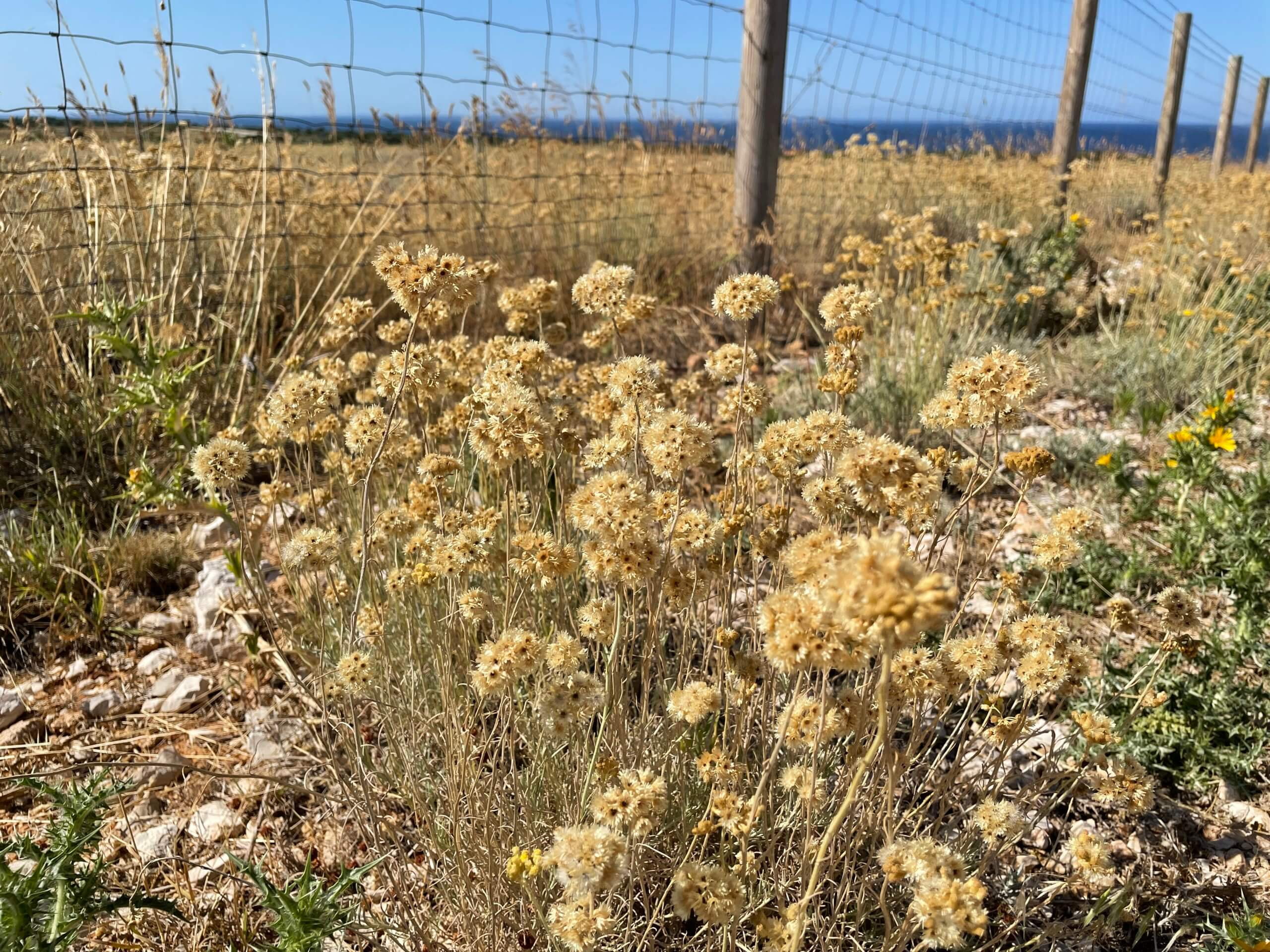 Helichrysum italicum Pag Kroatien